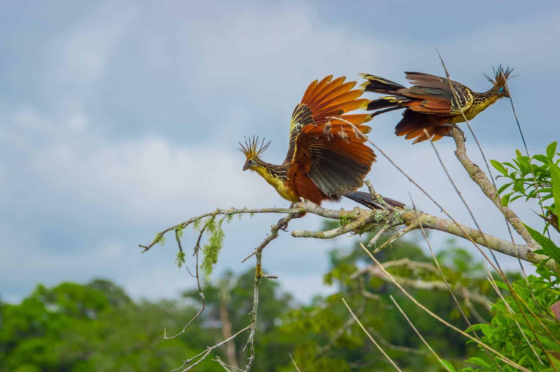Amazon sjælden fugl