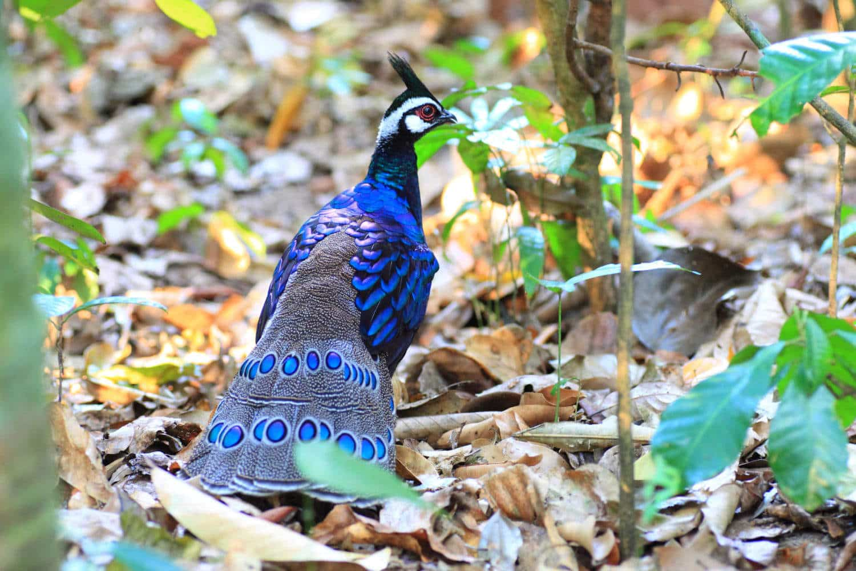 Fillipinerne Peacock-Pheasant