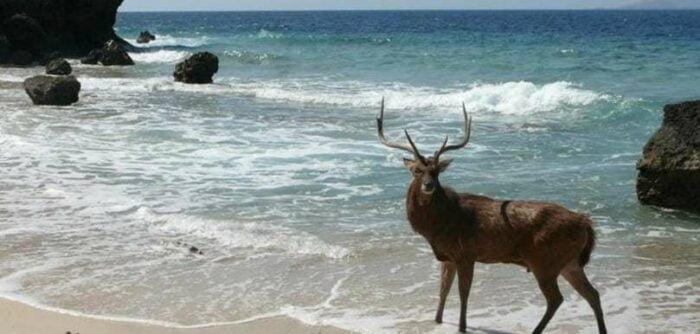 menjangan deer Bali