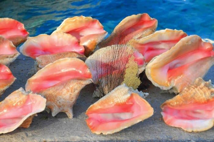 bahamas seashells