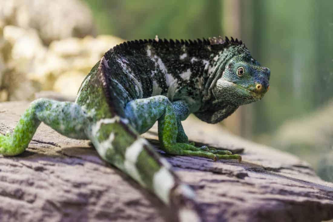Fiji Island, truet fyreart, den meget spændende Iguana
