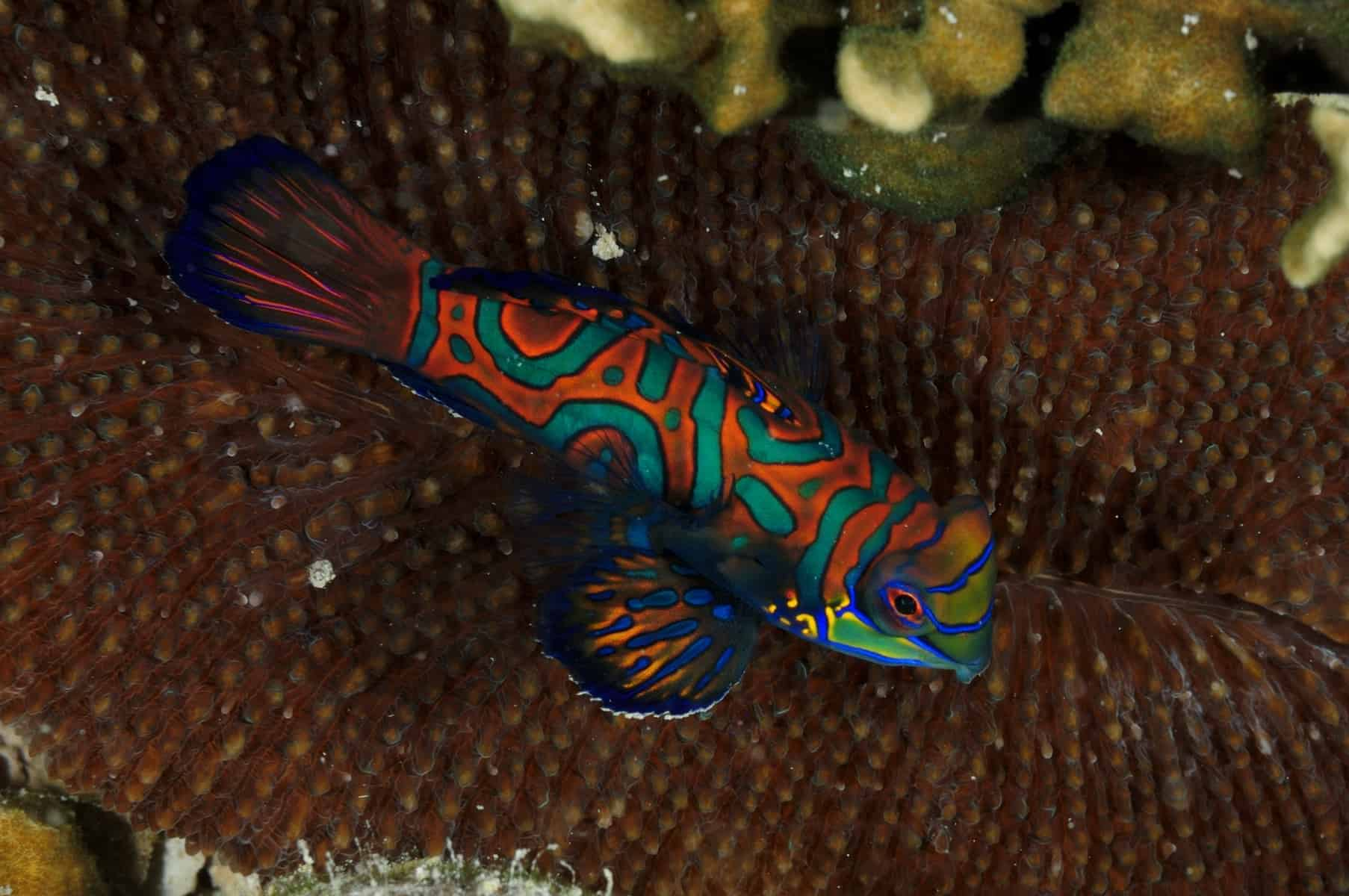Mandarin Fish over a hard coral, shot in Palau Micronesia