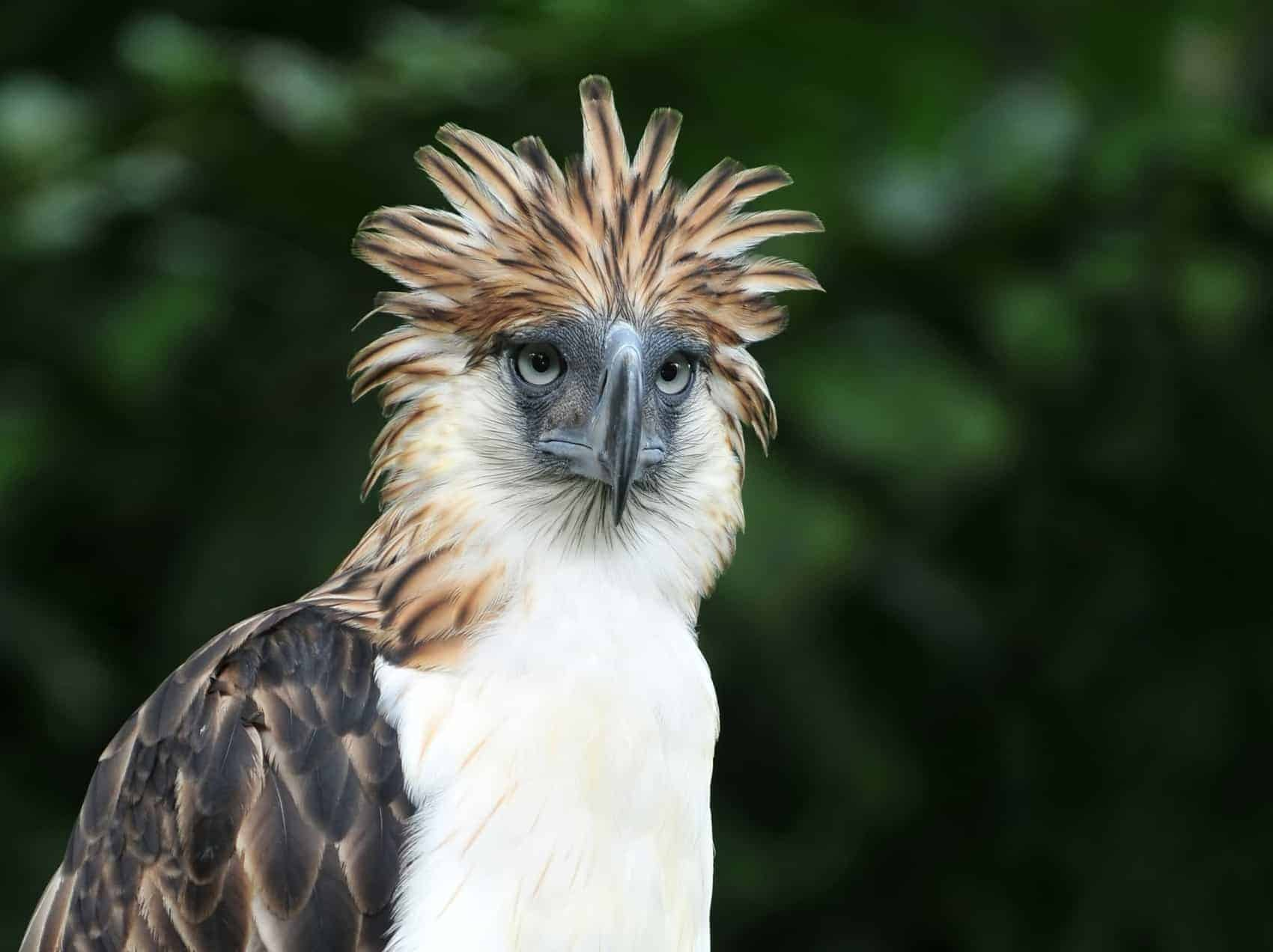 Philippine Eagle or the Monkey-eating Eagle is a very rare bird in the world.