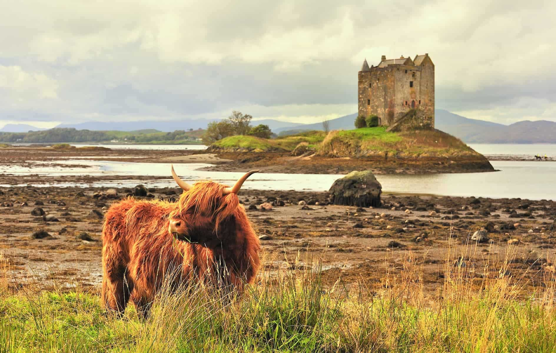 Slotte i Skotland. A lone highland cow grazes on grass, with castle Stalker in the background. A classic Scottish image.