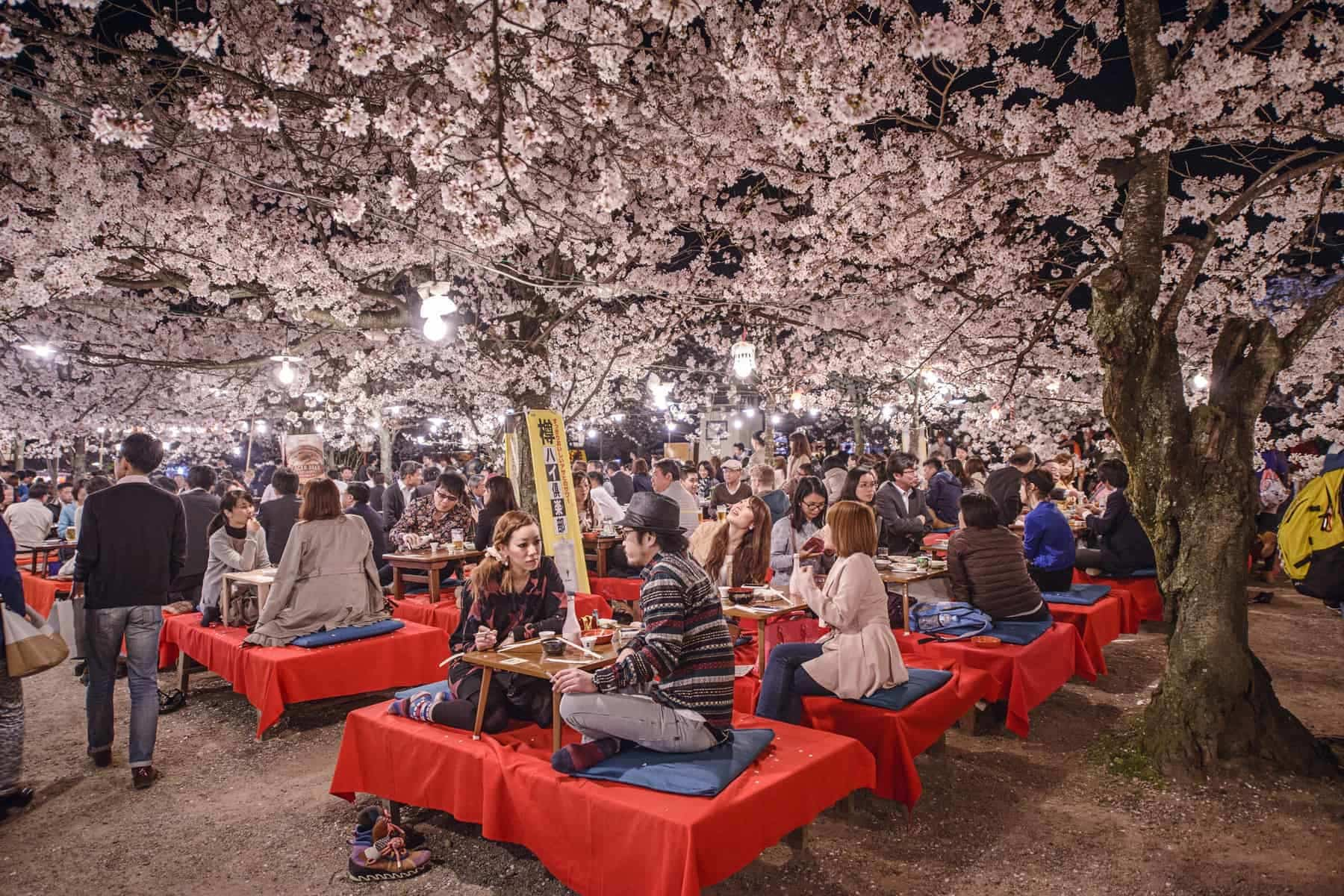 KYOTO, JAPAN. People enjoy the spring season by partaking in nighttime Hanami festivals. The annual festivals coincide with the seasonal blooming of the cherry blossoms.