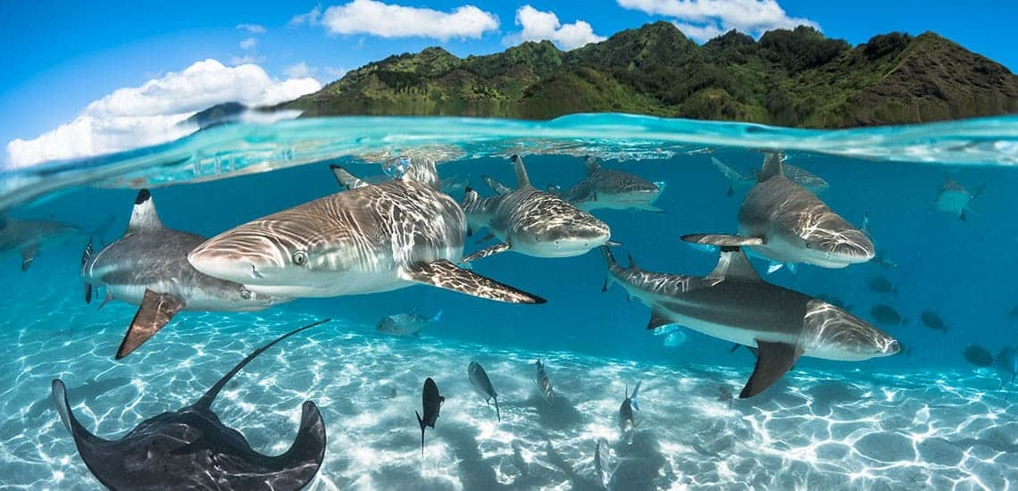 Tahiti feeding sharks