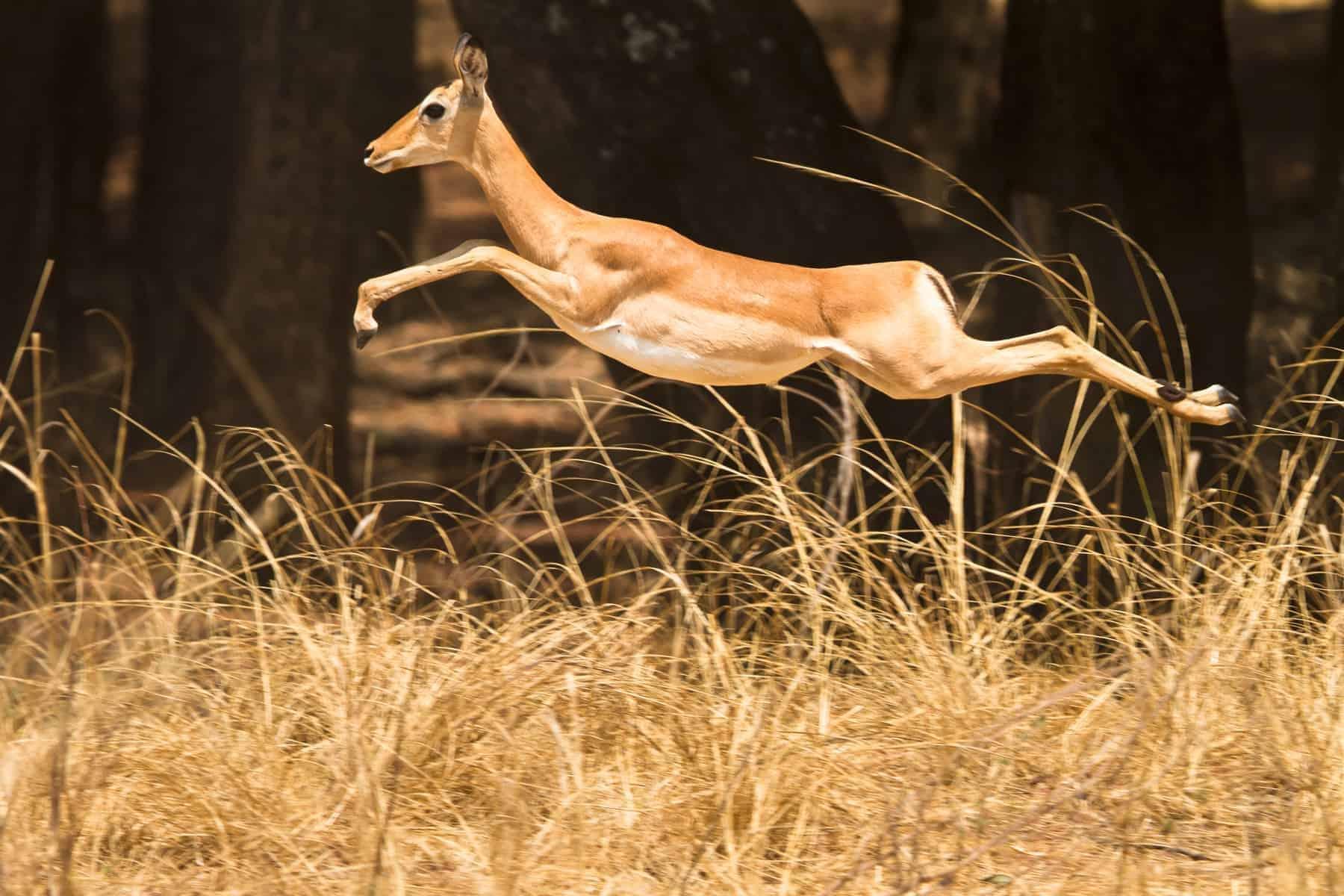 Angola, Wild Impala