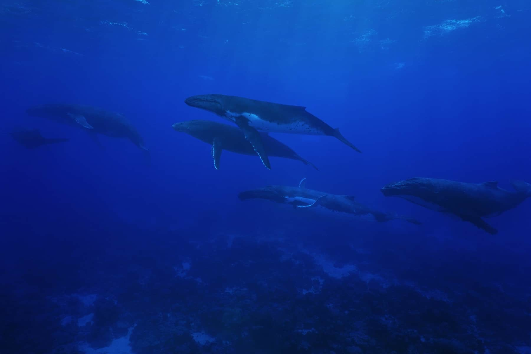 Group of humpback whales, Megaptera novaeangliae, underwater in the Pacific ocean, Rurutu island, Austral archipelago, French Polynesia