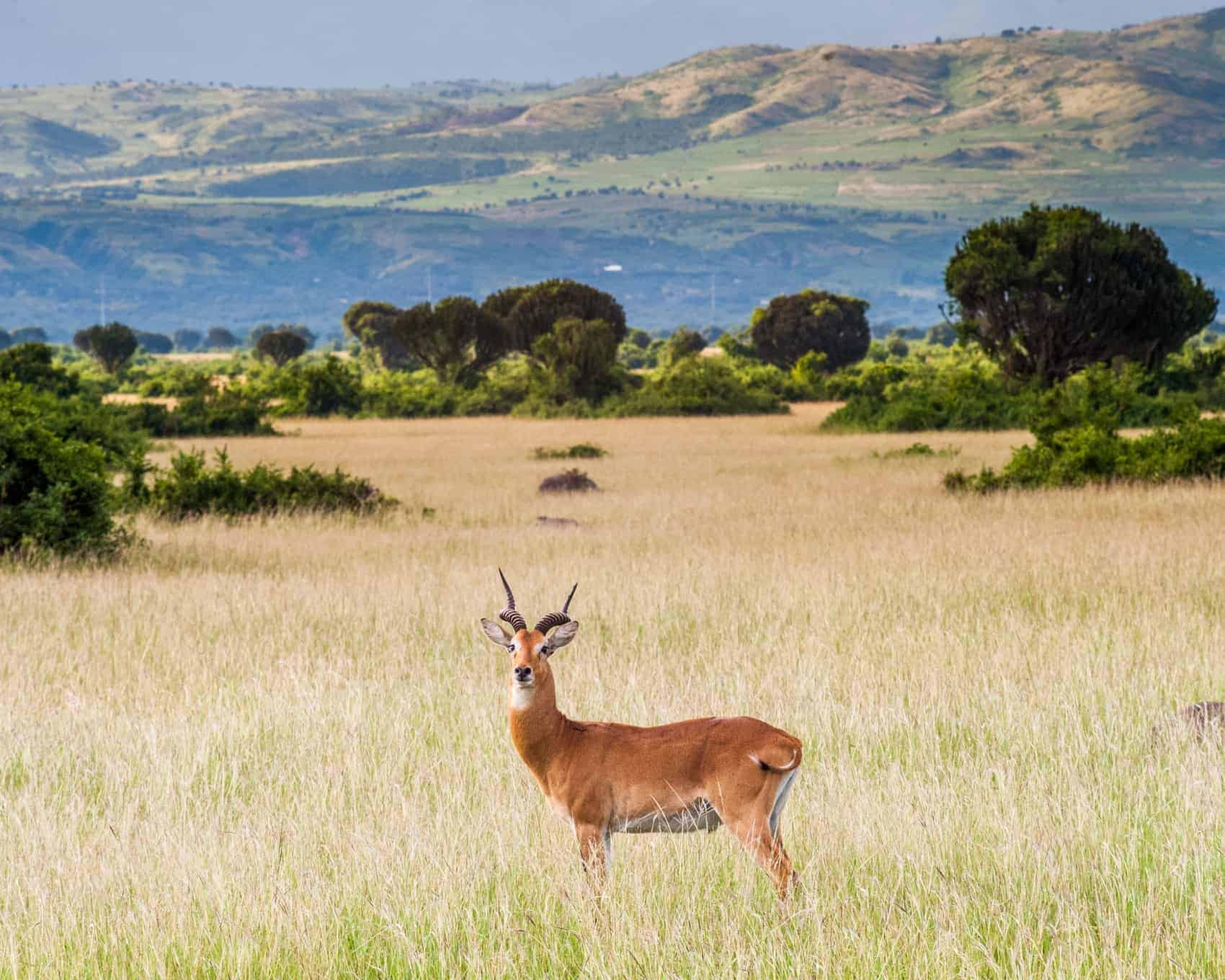 Cob Antelope in Queen Elizabeth National Park Uganda with the Rwenzori mountains in the background