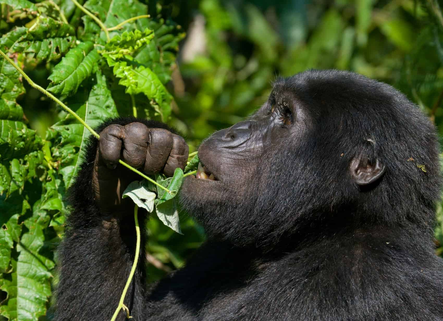 Mountain gorilla eating plants. Uganda. Bwindi Impenetrable Forest National Park. An excellent illustration.