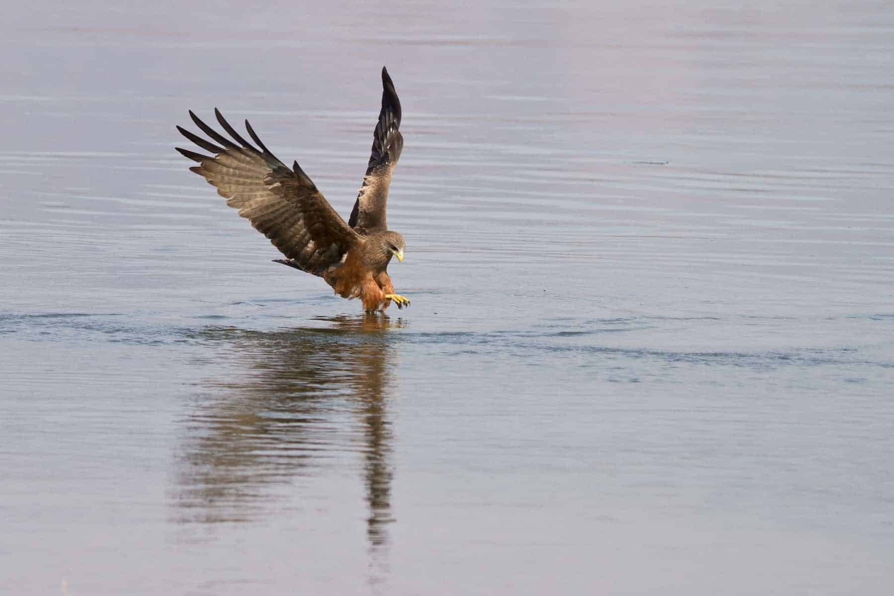 Safari i afrika: Zambia, Mana, Black kite på fisketur