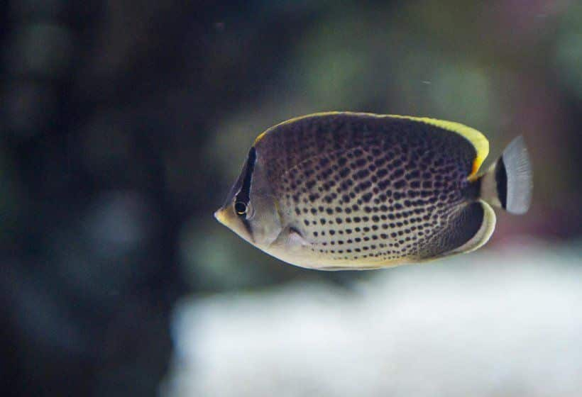 Oceanarium-African-Butterfly-fisk.jpg