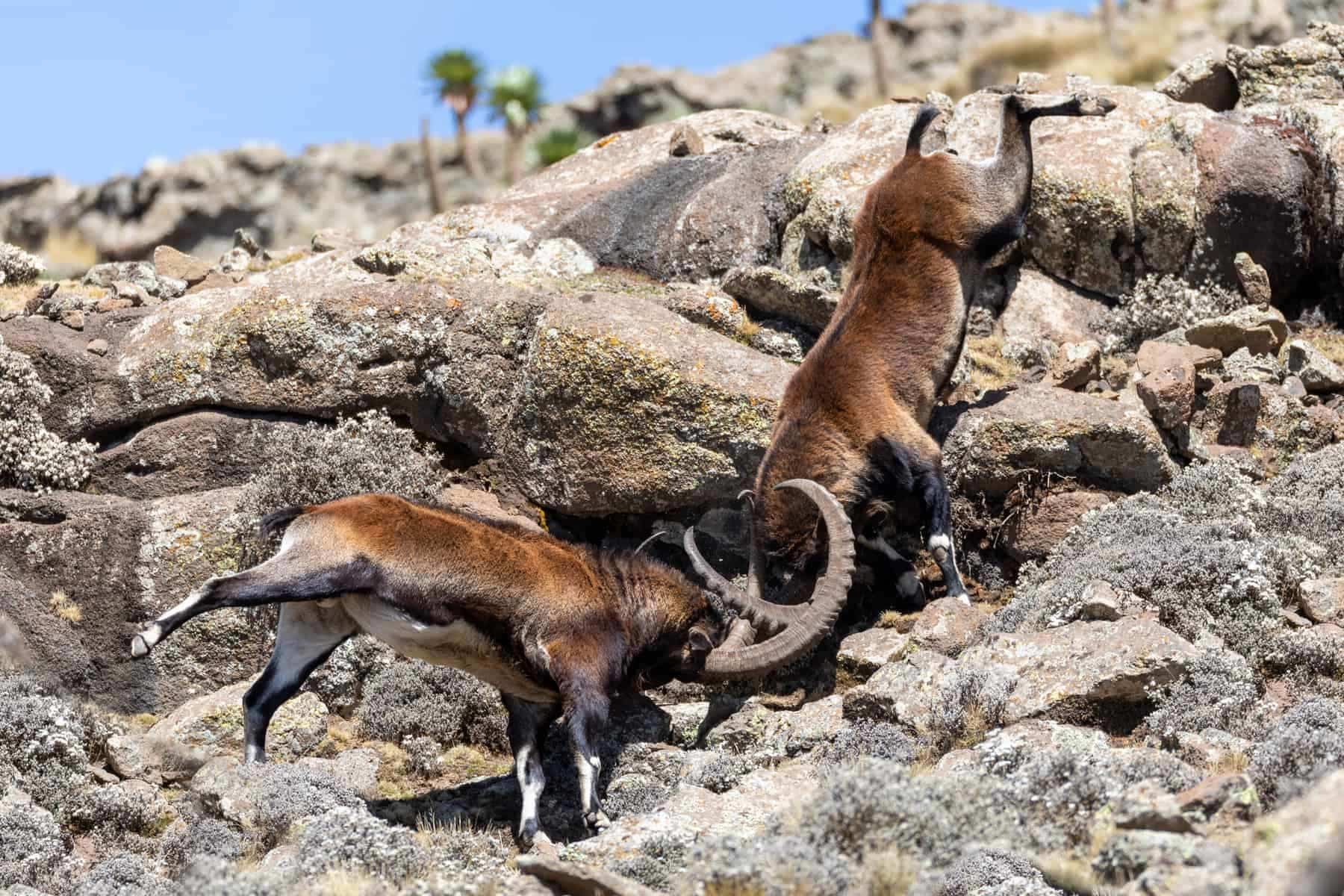 Very rare Walia ibex fighting, Capra walia, rarest ibex in world. Only about 500 individuals survived in Simien Mountains in Northern Ethiopia, Africa