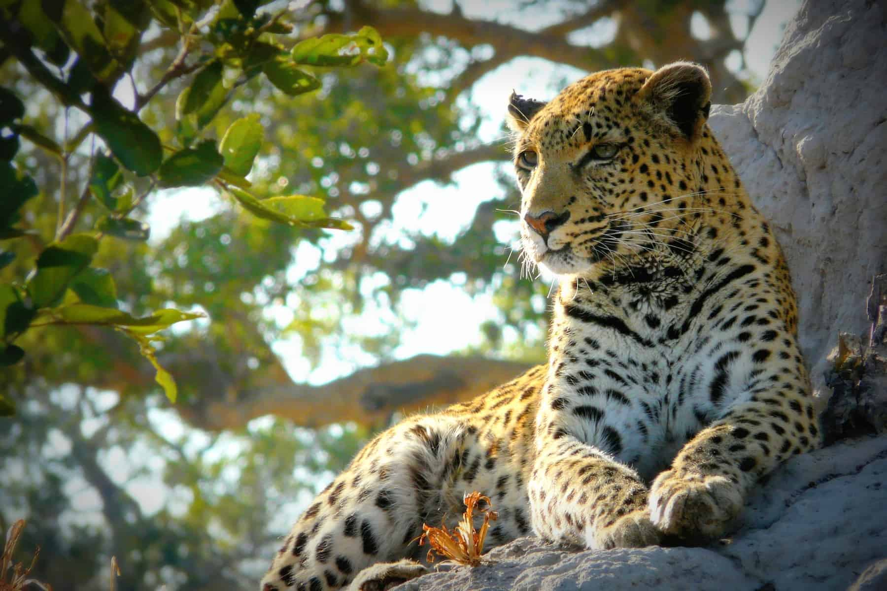 Safari i Botswana. Okavango delta.