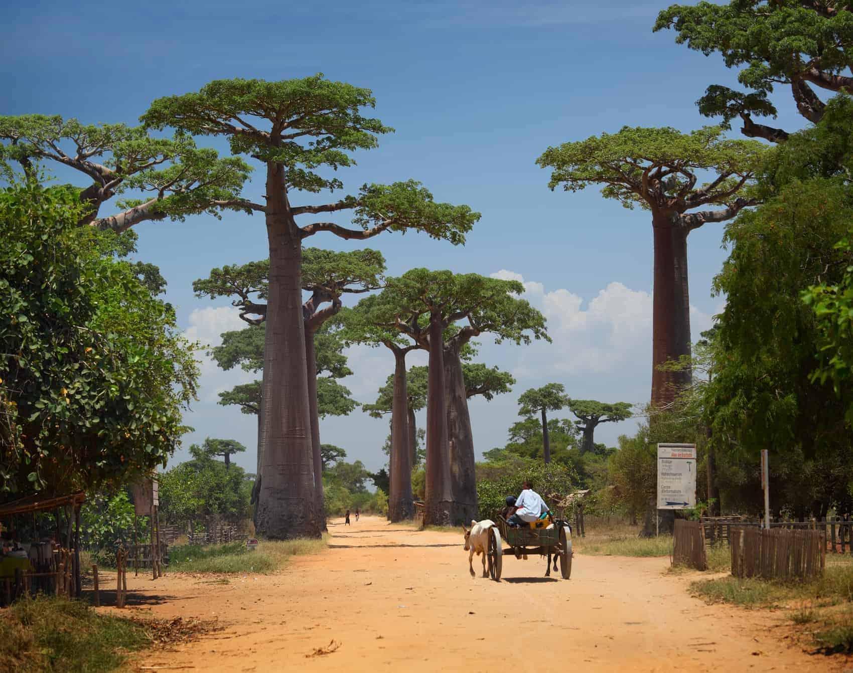 Baobabs (Endemisk træsort) i Magascar Afrika, Kæmpeøen har utrolight mange dyre og plantearter, der kun findes her