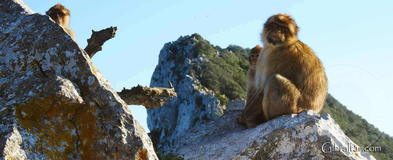 Gibraltar the-upper-rock-nature-reserve-monkeys