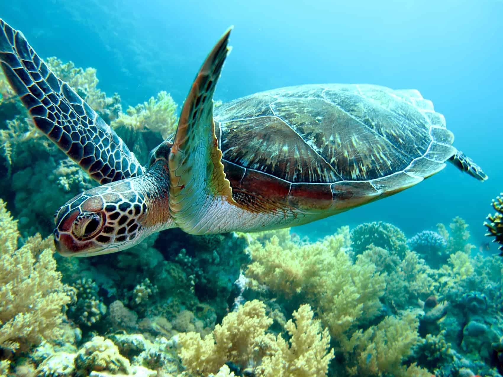 Grønne skildpadder er det muligt at spotte
