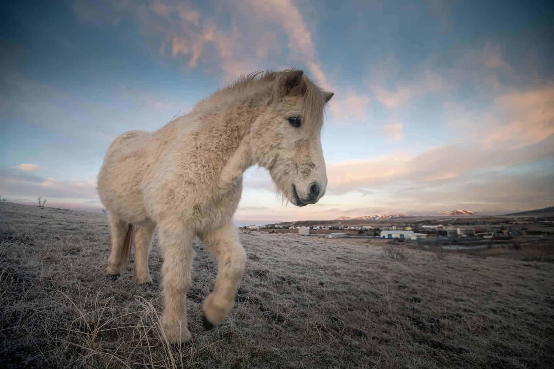 Icelandic horses and beautiful landscape