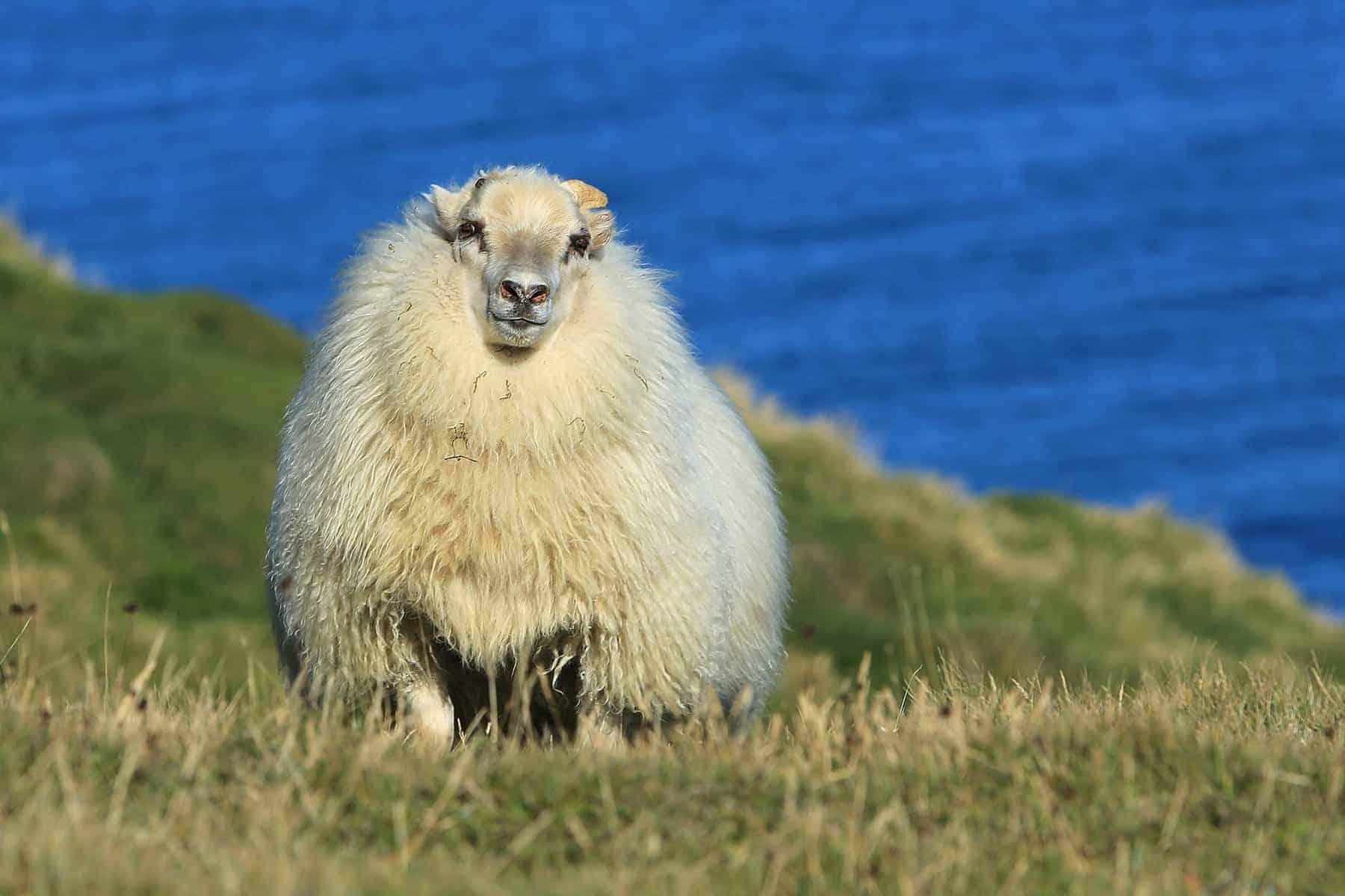 forårs lam i Island på skråning med havet i baggrunden