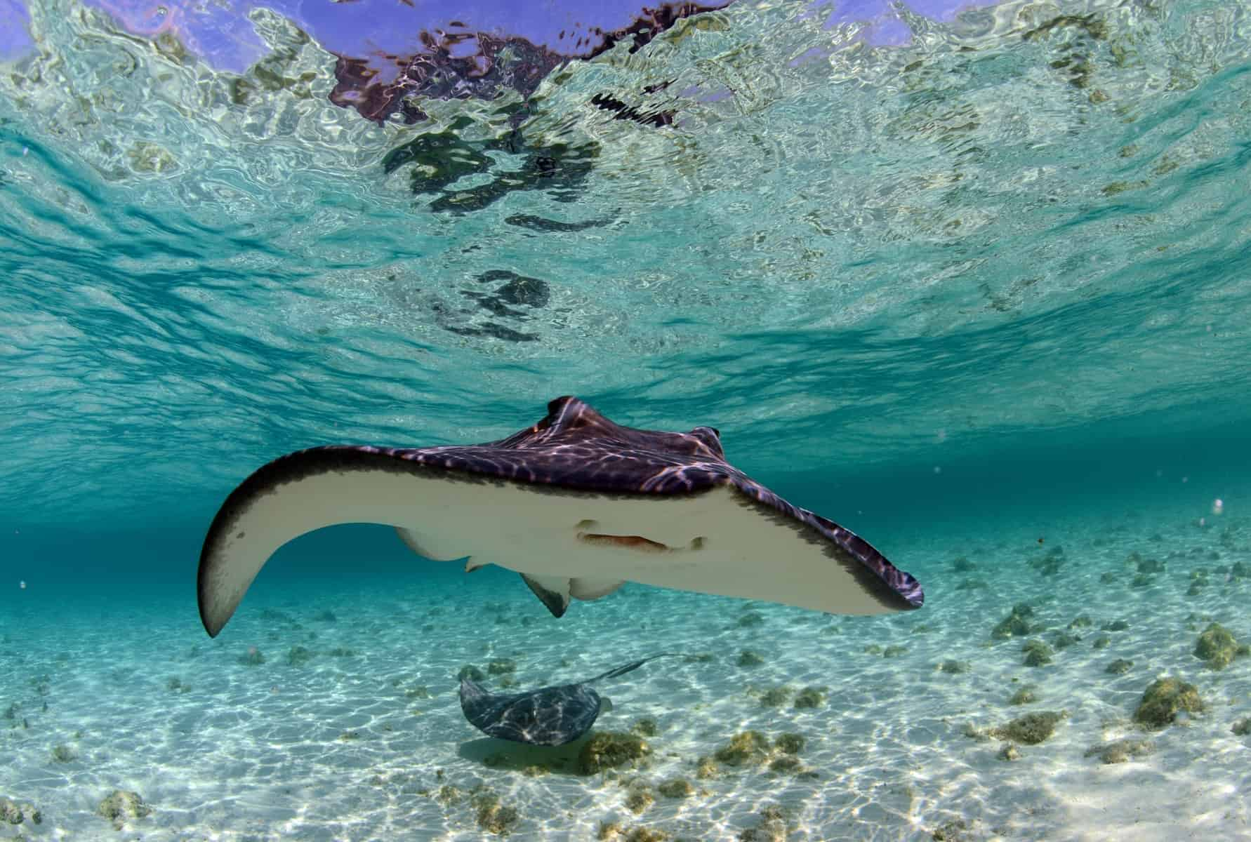 spotted eagle ray and stingray in ocean