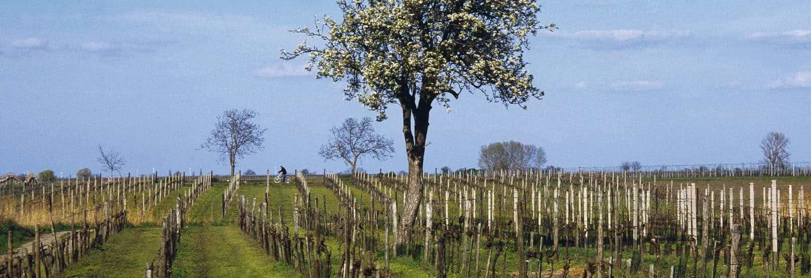 Østrigs vin- søde dessert vine