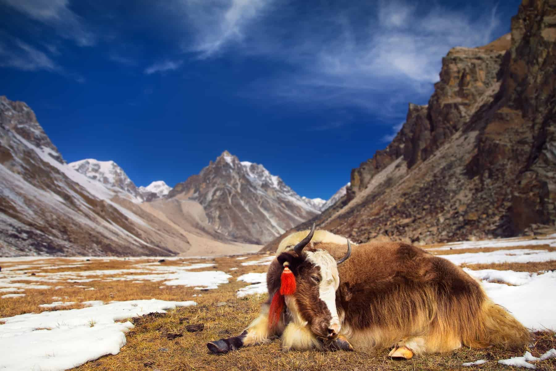 Keep calm like Yak in Bhutan, Himalaya Mountains.