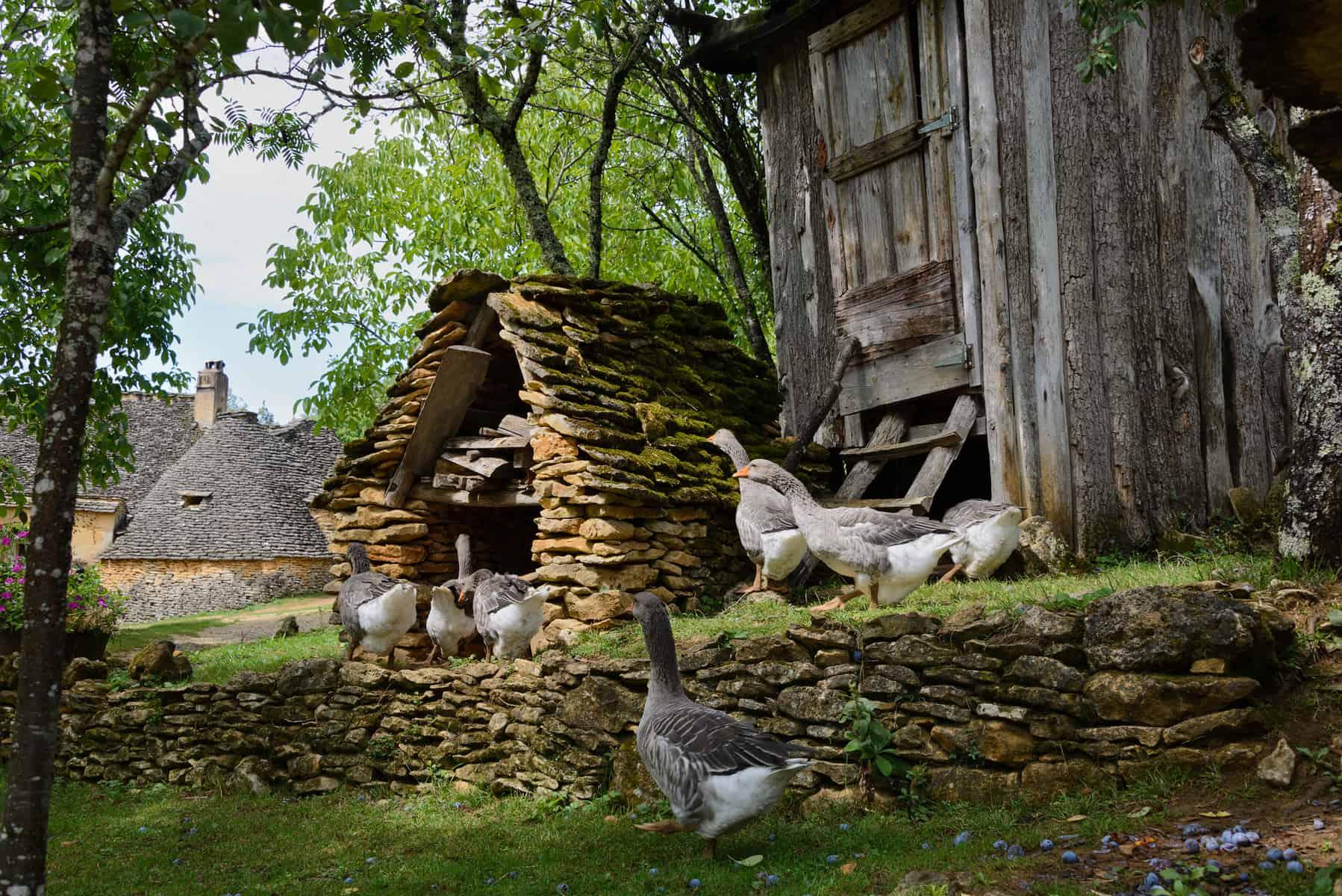 Grå fois gras gås på gåsefarm i Dordogne. Fransk mad